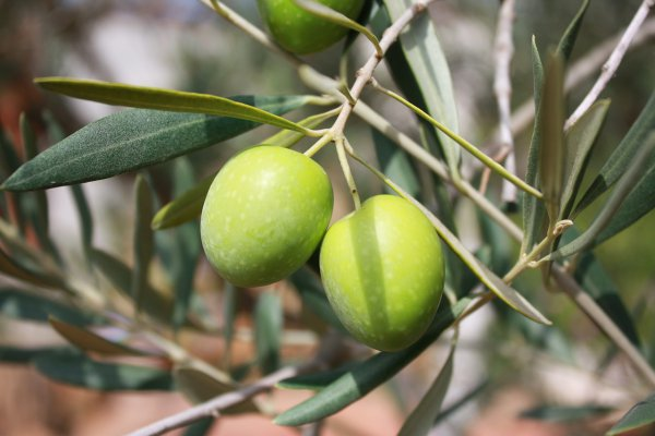 How to preserve olives and capers using traditional fermentation